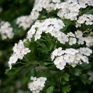 The white flowers of Crataegus monogyna