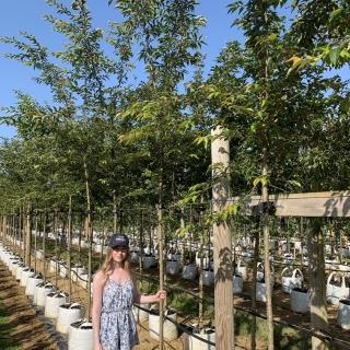 Medium Prunus subhirtella Autumnalis Rosea