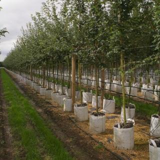 Mature multi-stemmed Acer campestre planted in parkland Green summer foliage of Acer campestre