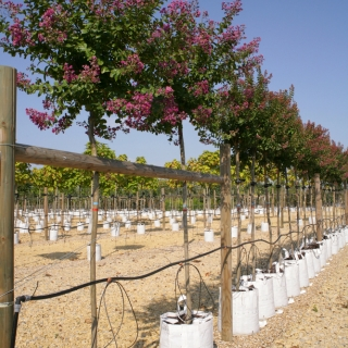 Lagerstroemia indica Rosea on the Barcham Trees nursery in flower