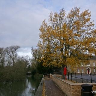 Populus tremula on a river sidel summer foliage