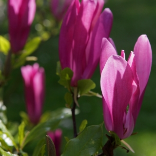 The cerise pink flower of Magnolia Susan in detail