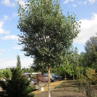 Semi-mature Betula albosinensis Fascination planted in a car park