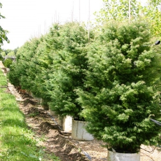 Cryptomeria japonica Elegans on the row at the Barcham Trees nursery