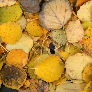 The golden yellow autumn colour of Populus tremula