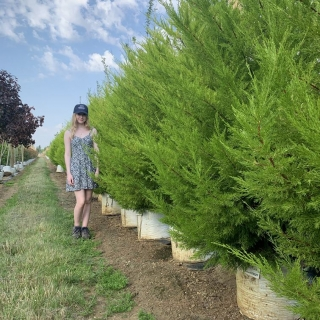 Small Golden Monterey Cypress from this batch
