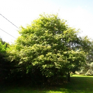 Mature Amelanchier Lamarckii in summer