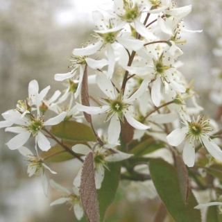 The delicate white flowers of Amelanchier lamarckii