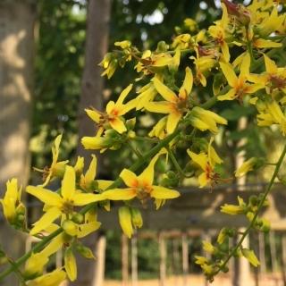 Flowers of Koelreuteria paniculata in detail