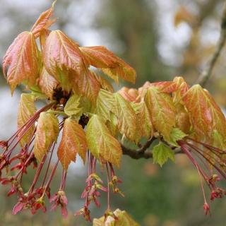 Acer Palmatum Fireglow tree