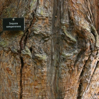 The mature bark of Sequoia sempervirens in detail
