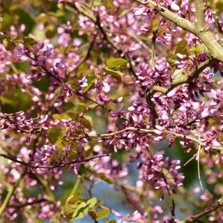 The abundance of flowers on the Judas Tree