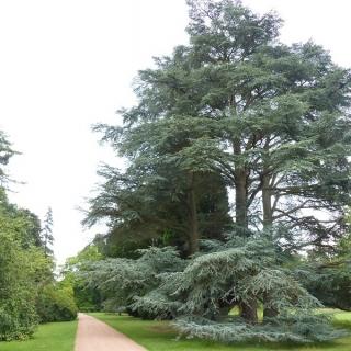 Mature Cedrus atlantica glauca at Westonbirt arboretum