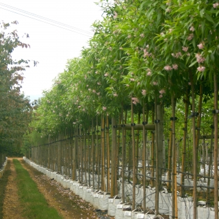 A row of Chitalpa Summer Bells in flower on the Barcham Trees nursery