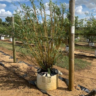 Large Salix alba chermesina multi stem