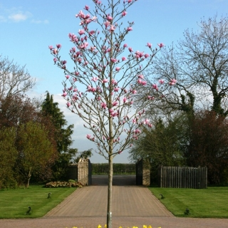 A maturing Magnolia Galaxy supplied by Barcham Trees