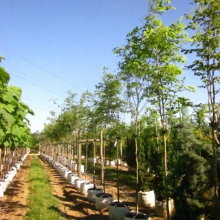 Cladrastis kentukea on the Barcham Trees nursery