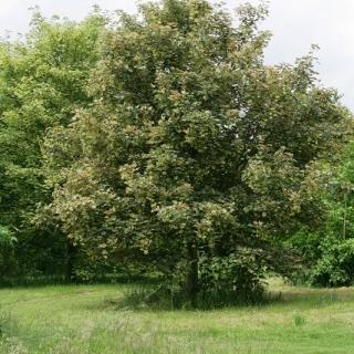 Semi-mature Acer pseudoplatanus Leopoldii planted in the landscape