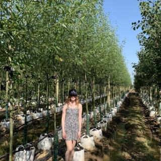 Medium Salix alba Liempde
