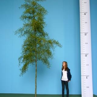 Scaled image of Alnus Glutinosa Imperialis size Medium