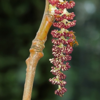 The pinky red male catkin of Populus nigra in detail