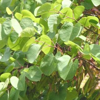 The foliage of Cercis siliquastrum in detail