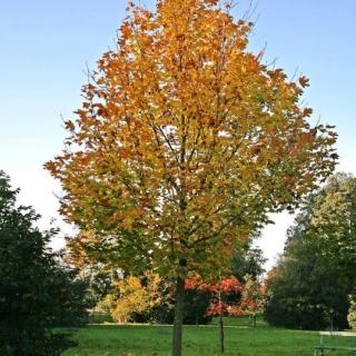 Mature Acer platanoides Farlakes Green