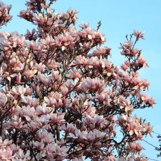 The pretty flowers of a mature specimen of Magnolia soulangeana
