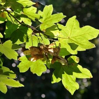 Foliage of Acer pseudoplatanus