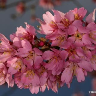 The pink flowers of Prunus x subhirtella Autumnalis Rosea
