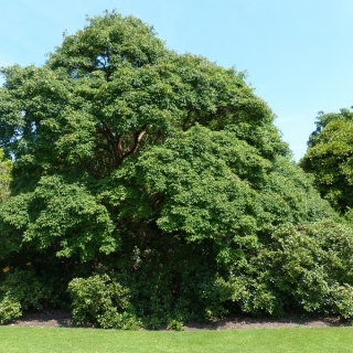 Mature specimen of Acer griseum at Bodnant Gardens
