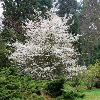 Mature Amelanchier Ballerina planted in a parkland setting