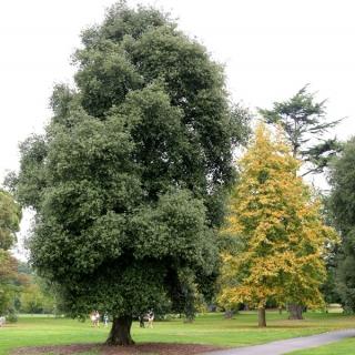 Mature Quercus ilex planted in parkland