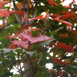 Acer platanoides Fairview foliage