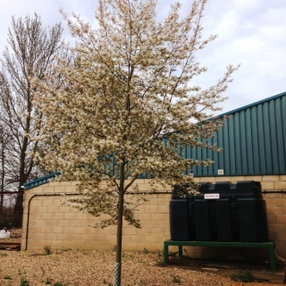 Mature Amelanchier arborea Robin Hill in flower at Barcham's