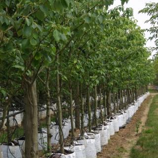 Cornus controversa at barcham trees