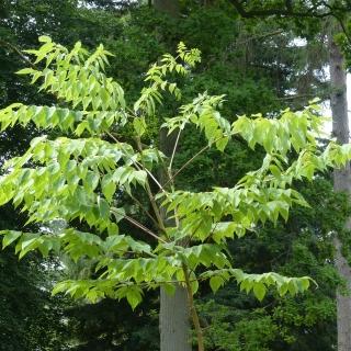 The leaves of Aralia elata