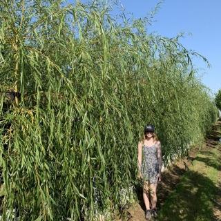 Medium Salix alba Tristis Chrysocoma