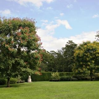 Mature Koelreuteria paniculata planted in parkland