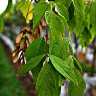 Foliage up close of Acer negundo