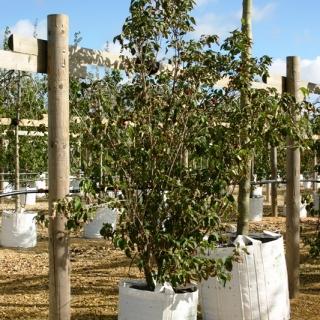 Cornus kousa China Girl multistem bush on the Barcham Trees nursery