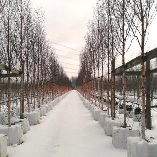 Nursery shot of Betula albosinensis Fascination in the winter