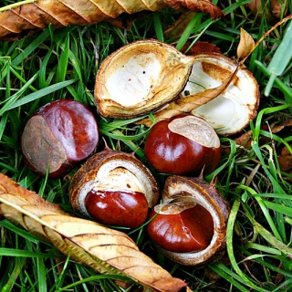 Conkers produced by and associated with Aesculus hippocastanum