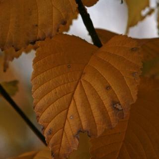 The autumn colour of Ulmus Clusius