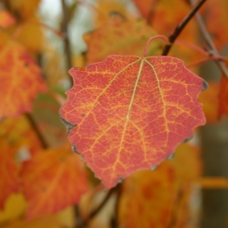 The stunning autumn colour of Populus tremula in detail