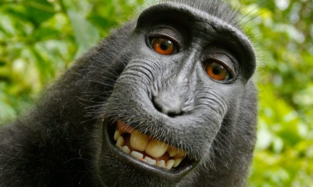 No More Monkeying Around: Copyright of Selfie Settles