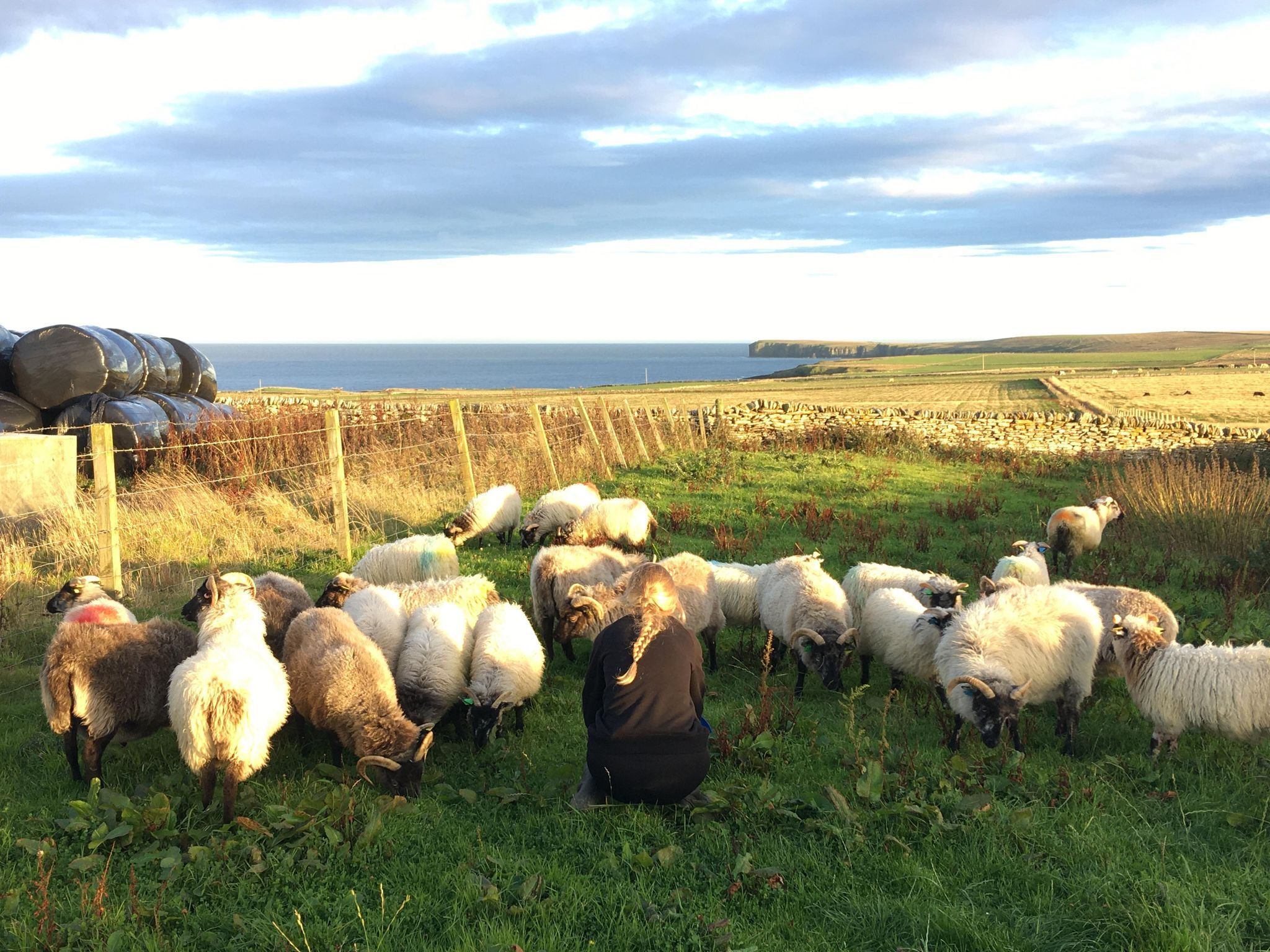 Ewes, gimmers and lambs at Airy Farm