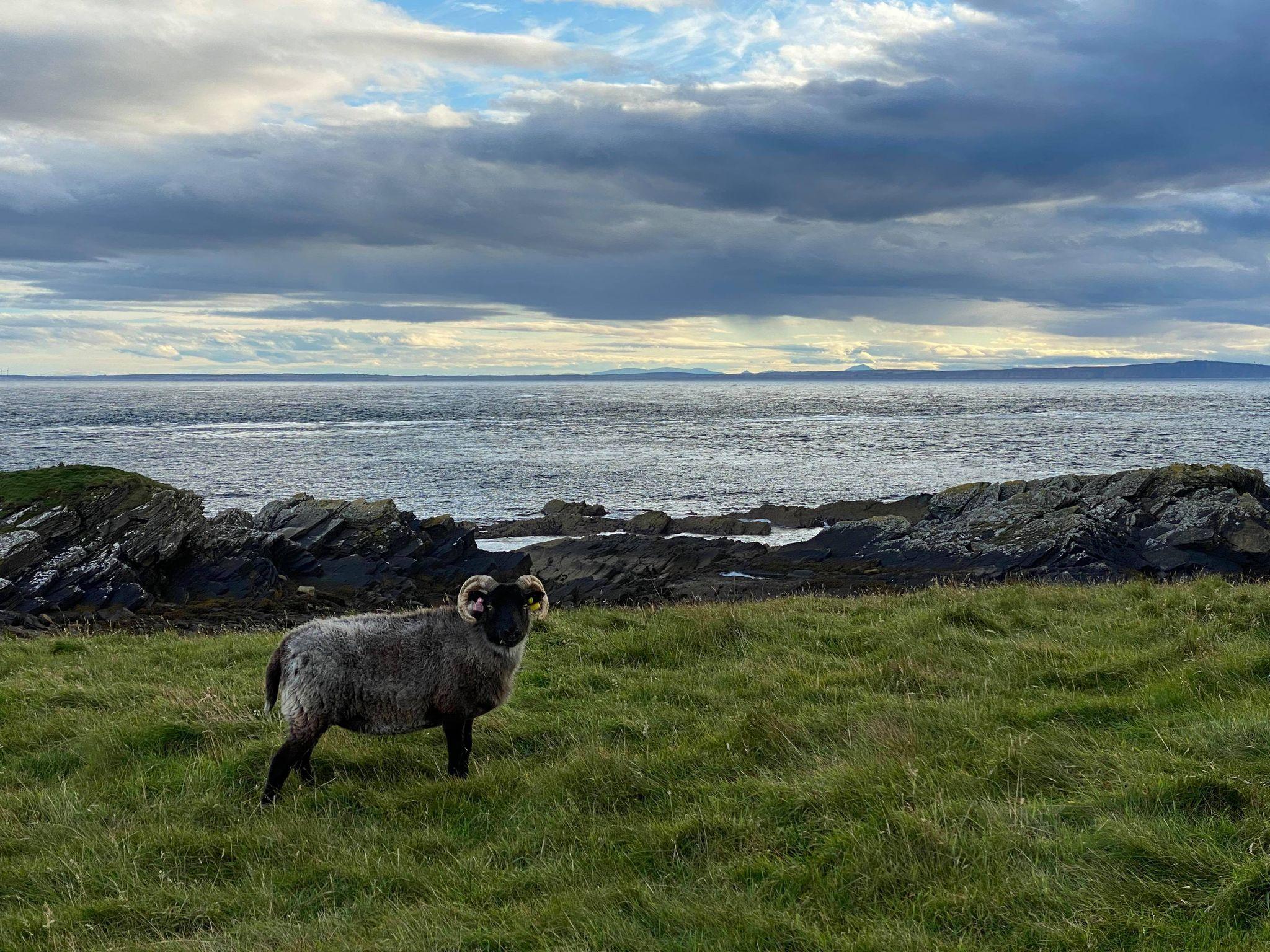 Senior ewe Flo settling into her new home in Hoy
