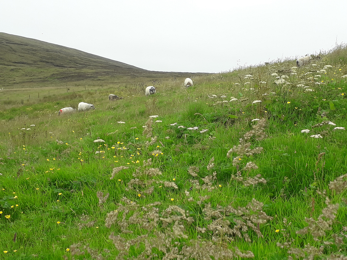Grazing for Nature — Orkney Boreray sheep grazing