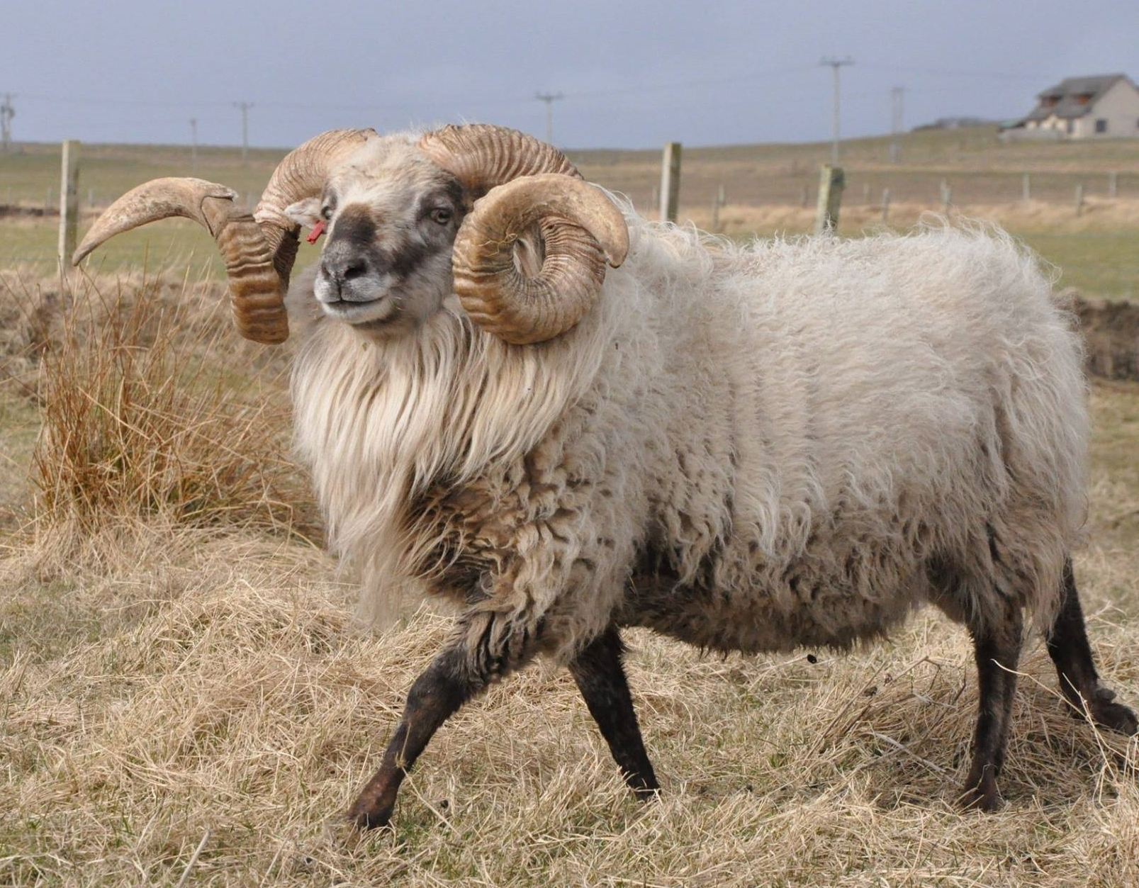 Settisgarth Bollocks — Orkney Boreray Ram